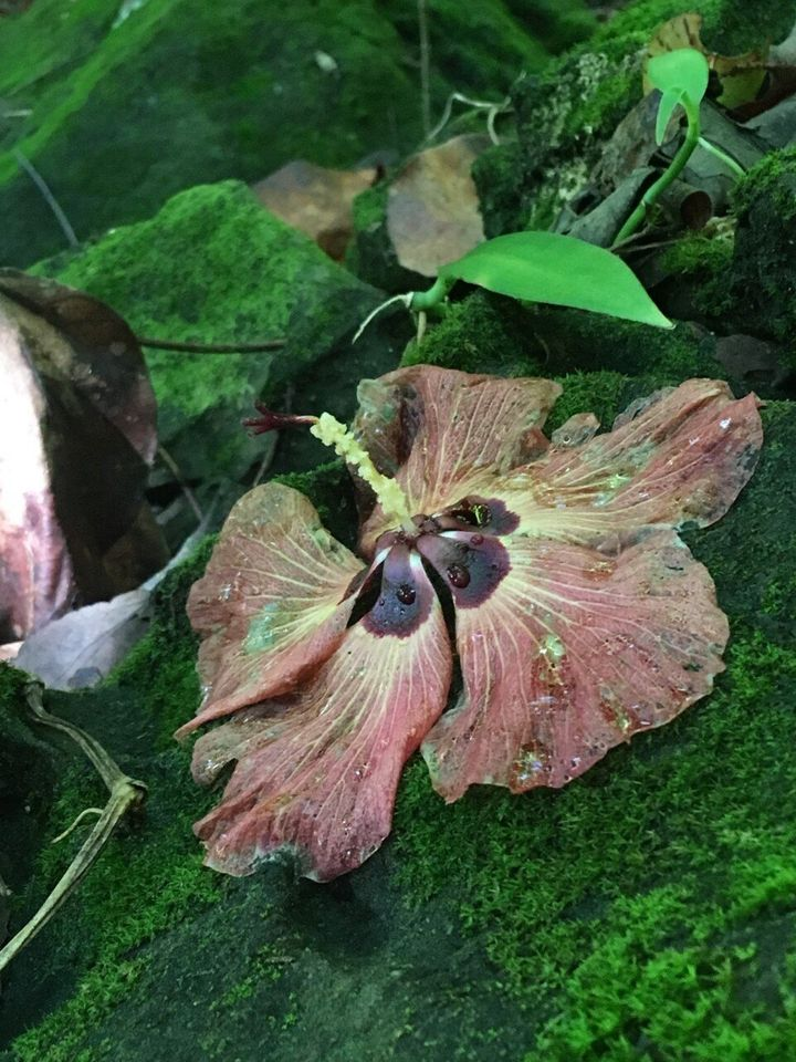 A hibiscus flower (symbol of feminine energy) we found on our hike in Huahine: In French Polynesia, a woman wears a hibiscus