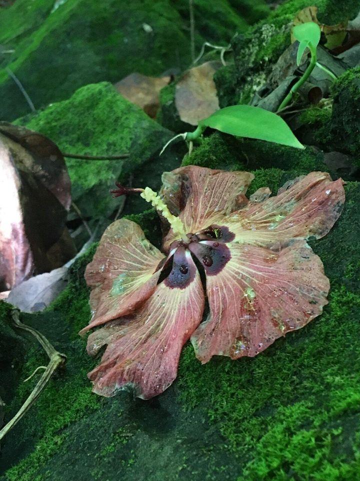 <em>Une fleur d'hibiscus (symbole de l'énergie féminine) que nous avons trouvée lors d'une randonnée. En Polynésie française, une femme porte une fleur d'hibiscus derrière l'oreille gauche si elle est mariée ou si elle a un copain, et derrière la droite si elle est célibataire et disponible.</em>
