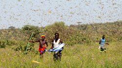 Onu lancia l'allarme locuste in Africa. Milioni di persone a