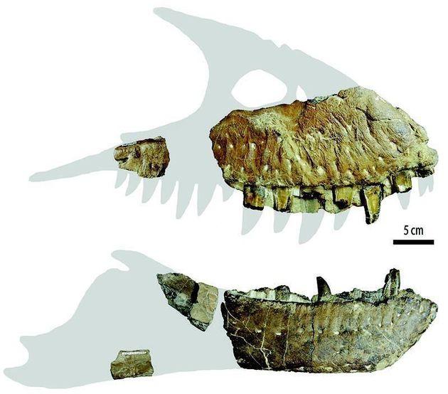Les fossiles du dinosaure