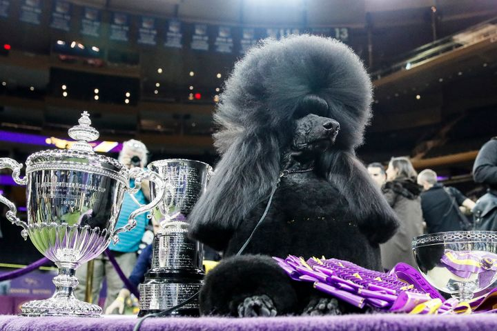Siba, the standard poodle, wins Best in Show in the 144th Westminster Kennel Club dog show Tuesday.