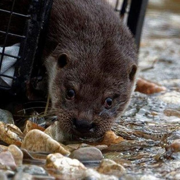 Three Orphaned Otters Released Into The Wild After Months In