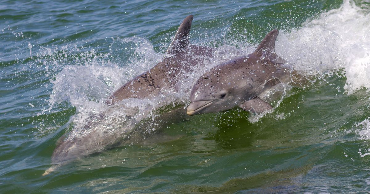 2 Dolphins With Bullet Holes And Suspected Stab Wounds Found In Florida