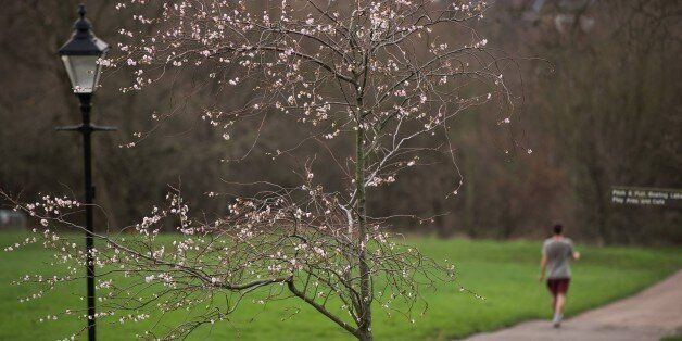 Blossom is seen on trees in Alexandra Palace Park, north London on December 18, 2015. Parts of Britain...