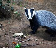 Another Cruel and Pointless Badger Slaughter