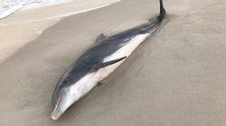 Trovati in Florida delfini uccisi a pugnalate e colpi di proiettile: caccia agli