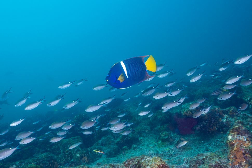 A King Angelfish swims in the Cabo Pulmo Marine National Park in Mexico.