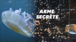 Pour tuer leurs proies, ces méduses envoient des boules de