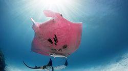 단 한 마리만 존재한다는 '핑크색 쥐가오리' 목격담이