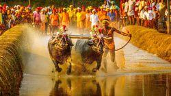 Srinivas Gowda, l'indiano che corre (con i bufali)