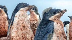 지구온난화 탓에 남극 펭귄들은 진흙투성이가
