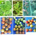 Voici comment reconnaître le nouveau virus de la tomate et ses