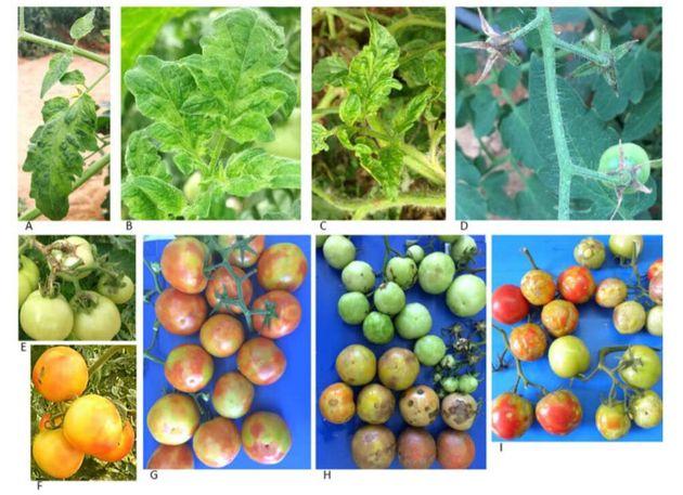Des plants de tomates infectées par
