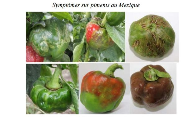 Des plants de poivrons infectées par