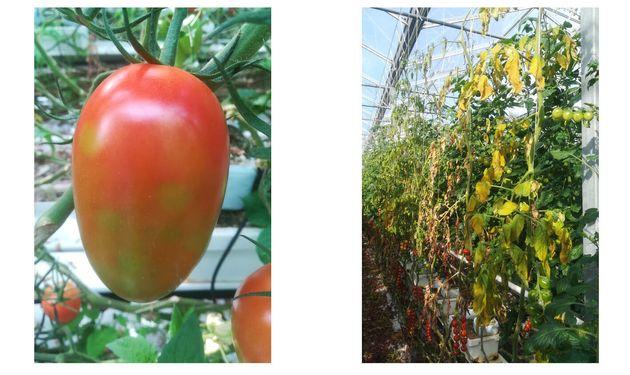 Des plants de tomates infectés par le nouveau virus ToBRFV en