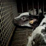 Nouvelle vidéo choc de L214 sur des sévices graves dans le plus grand abattoir de veaux en