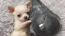 Chihuahua That Can't Walk Befriends Pigeon That Can't