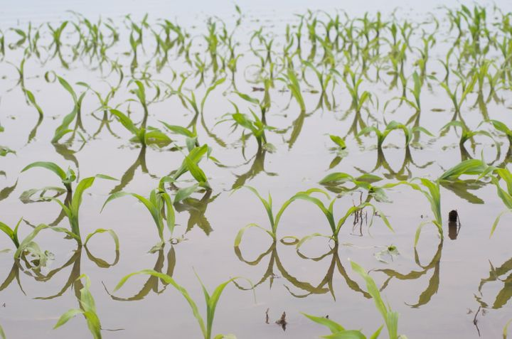 Flooding in the Midwest can have devastating consequences on crops.