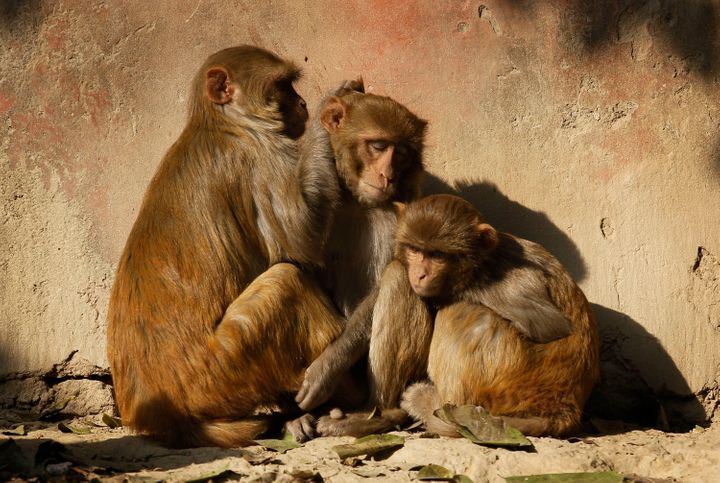 Monkeys enjoy early morning sun after a cold night outside the Taj Mahal in Agra, India, Wednesday, Dec. 22, 2010.