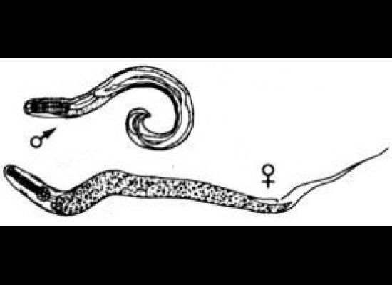 Nearly all humans experience pinworms, a parasite that causes itching around the anus, at some point in their lives. To deter