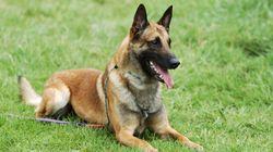 Des chiens capables de détecter le cancer du sein dans la sueur des