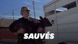 Joaquin Phoenix sauve une vache et son veau de l'abattoir, au lendemain des