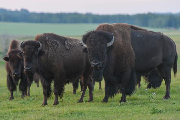 A herd of bison is seen in a field west of