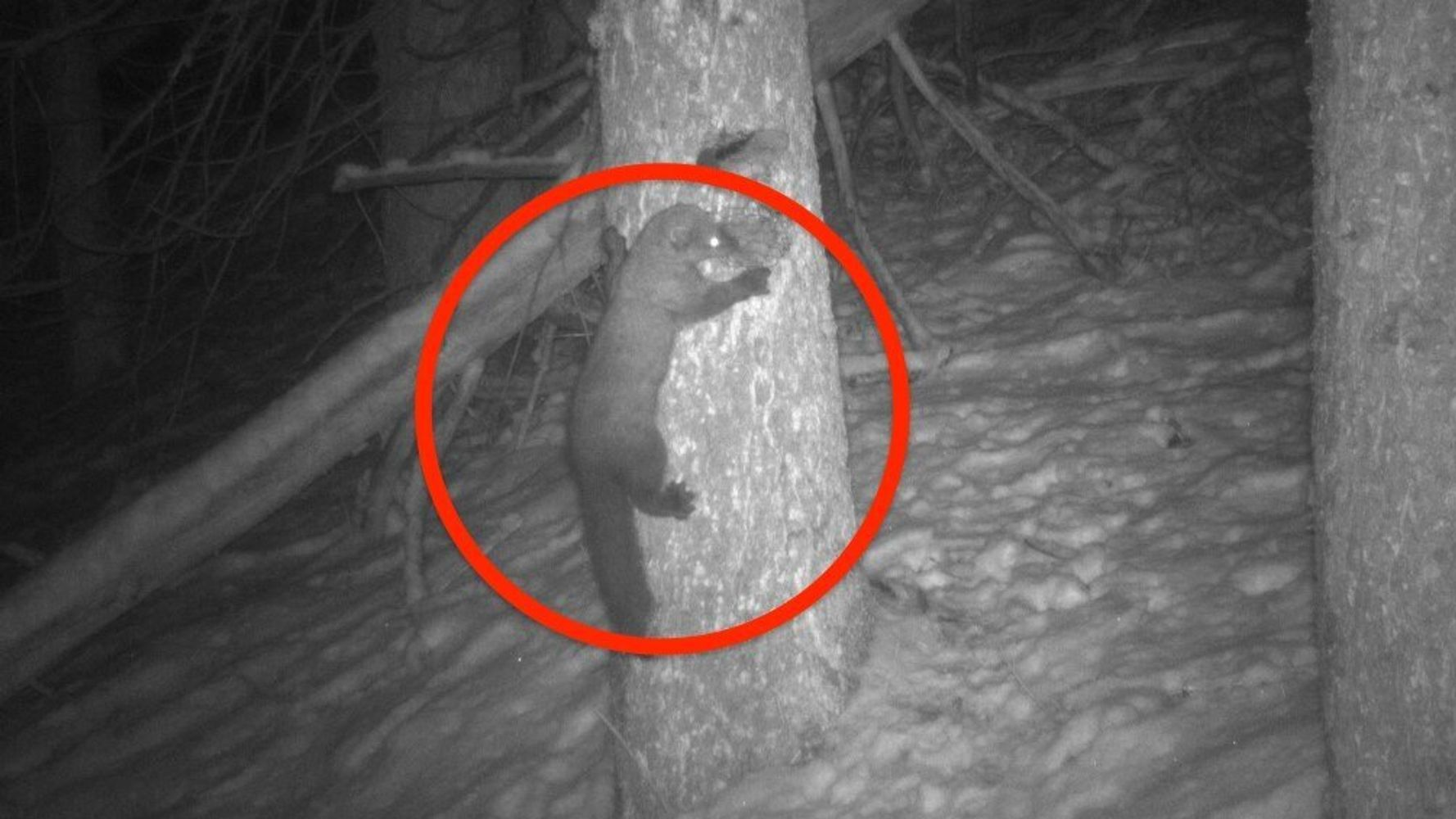 Rare Sighting In Yosemite: Trail Camera Captures Adorable And Elusive Fisher