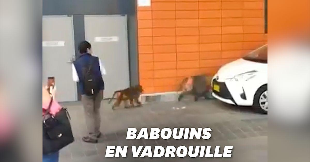 Une chasse aux babouins dans les rues de Sydney