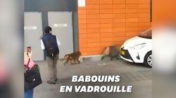 Une chasse aux babouins dans les rues de