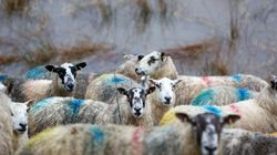 Σκωτία: Κτηνοτρόφος καταδικάσθηκε γιατί χτύπαγε τα πρόβατα του με γροθιές στο