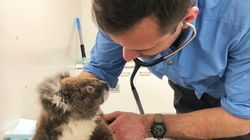 Rescued Baby Koala Clings To Teddy