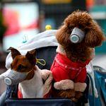 Primo cane in quarantena per coronavirus. E in Cina iniziano ad andare in giro con la