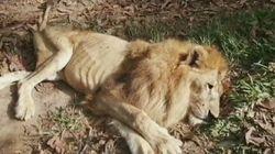 Júpiter, el león más querido de Colombia, vuelve a ser rescatado por la mujer que lo salvó hace más de 20