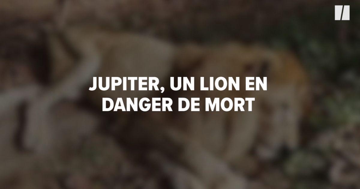 """Jupiter, """"le lion câlin"""" en danger de mort va pouvoir retrouver sa maîtresse"""