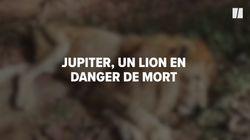 """Jupiter, """"le lion câlin"""" en danger de mort va pouvoir retrouver sa"""