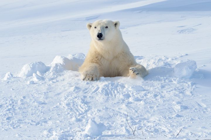 A polar bear mother coming out of her den in Wapusk National Park, Canada.