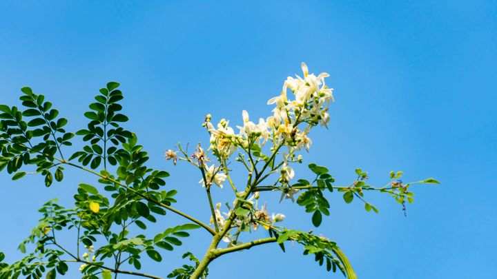 Moringa is also rich in antioxidants and can lower cholesterol, Healthline reports.