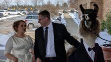 Ein Ohio Mann Brachte Ein Lama Auf Seiner Schwester Hochzeit Und Ihre Reaktion War Unbezahlbar