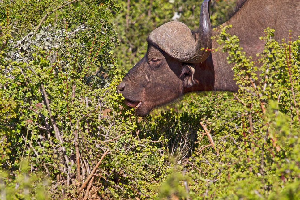 An African buffalo bull eating from a spekboom bush in Addo Elephant Park, South Africa.