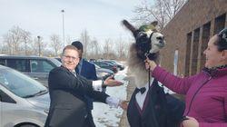 Chose promise, chose due, il emmène un lama en smoking au mariage de sa