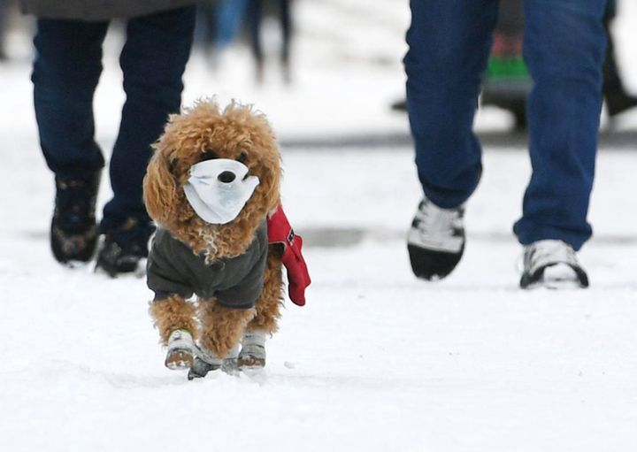 A pet dog wearing face mask walks with owner on snow amid novel coronavirus outbreak on March 4, 2020 in Changchun, Jilin Province of China.