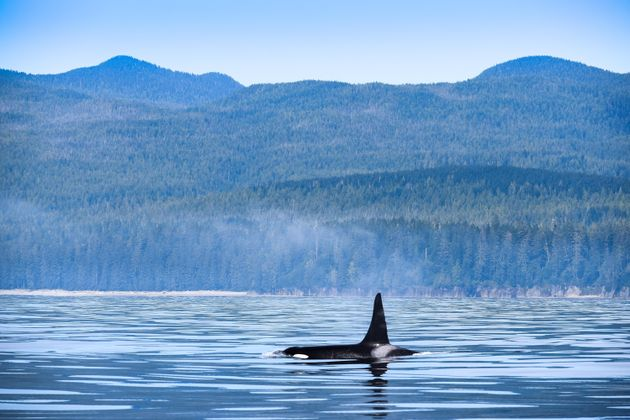 A killer whale Breaches the surface near Vancouver