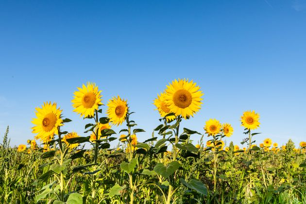 Sunflower (Helianthus subsp.) as part of wild flower mix sown for bird conservation. Flowers against...