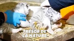 Ces trois bébés tigres blancs nés au zoo d'Amnéville sont aussi rares que