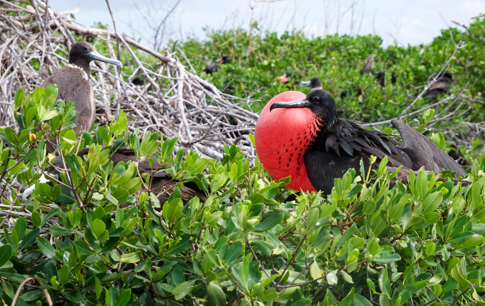 Barbuda is home to the largest Frigate Bird Colony in the Western Hemisphere.