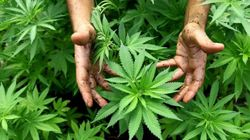 Legalizziamo la cannabis per risollevare l'economia