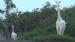 La seule girafe blanche du Kenya et son petit tués par des
