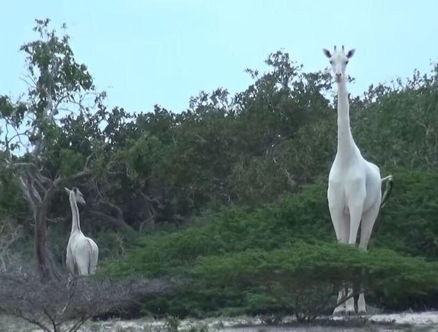 La girafe blanche et son petit, ici filmés en