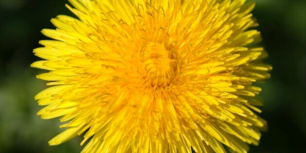 Dandelion Grows Inside Ear Canal Of Girl In
